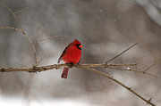 Finger Lakes Posters - Winter Cardinal Poster by Joshua House