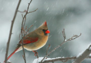 Feathered Prints - Winter Cardinal Print by Karol  Livote