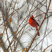 Lauri Novak - Winter Cardinal