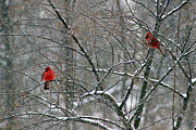 Karen Adams - Winter Cardinals