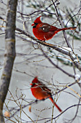 Susan Leggett - Winter Cardinals