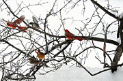 Male Cardinals In Snow Posters - Winter Cardinals Poster by Suzanne Rogers