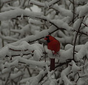 Red Bird In Snow Prints - Winter Color Print by Kitrina Arbuckle