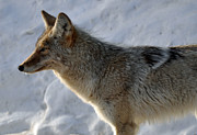 Yellowstone Photos Prints - Winter Coyote in Yellowstone Print by Bruce Gourley