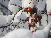 Steph Maxson - Winter Crab Apples