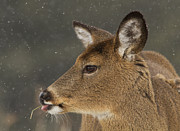 Rack Photos - Winter Deer by Mircea Costina Photography