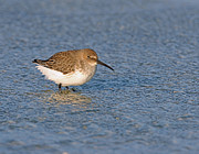 Dunlin Framed Prints - Winter Dunlin Framed Print by Bob Richter