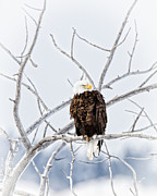 Winter Eagle Print by Jana Thompson