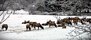 Neurotic Images Photography Prints - Winter Elk Print by  Chalet Roome- Rigdon