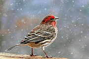 Christmas Card Digital Art Metal Prints - Winter Finch Christmas Art Metal Print by Christina Rollo