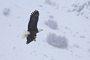 Bald Eagle Framed Prints - Winter Flight Framed Print by Mike  Dawson
