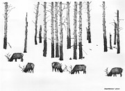 Elk Drawings - Winter Forage by Paul Shafranski