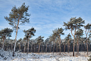 Snow-covered Landscape Prints - Winter Forest Covered With Snow Print by Dirk Ercken