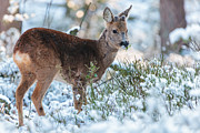 Gelderland Prints - Winter Forest Wildlife Print by Martin Bergsma