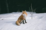 David Porteus - Winter Fox