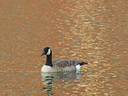 Goose In Water Prints - Winter Goose Print by Jk Images