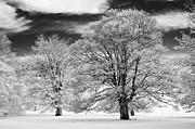 Winter Horse Chestnut Trees Monochrome Print by Tim Gainey