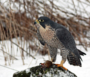 Shelley Myke Framed Prints - Winter Hunt Peregrine Falcon in the Snow Framed Print by Inspired Nature Photography By Shelley Myke