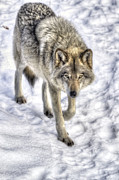 Joshua Mccullough Photography Prints - Winter Hunter Print by Joshua McCullough