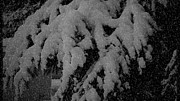 Snow Tree Prints Prints - Winter in B W Print by Beverly Guilliams