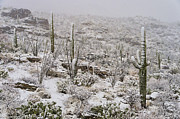 Saguaros Posters - Winter In The Desert Poster by Sandra Bronstein