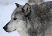 Wolf Portrait Prints - Winter Intensity Print by Adam Jewell