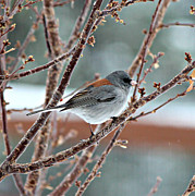 Winter Scene Digital Art Prints - Winter Junco Print by Barbara Chichester