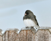 Christmas Cards Digital Art - Winter Junco by Betty LaRue