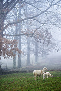 Fence Line Prints - Winter Lamb and Ewe Foggy Day Print by Thomas R Fletcher
