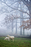 Winter Lambs And Ewe Foggy Day Print by Thomas R Fletcher