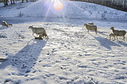Livestock Art - Winter Lambs by Thomas R Fletcher