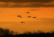 Flying Geese Framed Prints - Winter Landing No.2 Framed Print by Neal  Eslinger