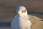 Bob Richter - Winter Laughing Gull
