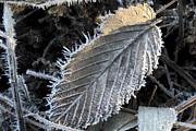 Daniel J Kasztelan - Winter Leaf Hoarfrost