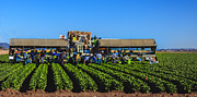 Broccoli Photo Prints - Winter Lettuce Harvest Print by Robert Bales