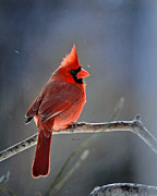 Nava Jo Thompson - Winter Morning Cardinal