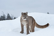 Cougars Posters - Winter Mountain Lion  Poster by Sandra Bronstein