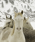 Mustangs Metal Prints - Winter Mustangs Metal Print by Carol Walker