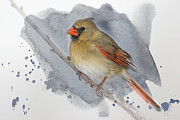 Female Northern Cardinal Posters - Winter Northern Cardinal Poster by Betty LaRue