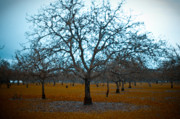 Sonoma County Art - Winter Orchard by Derek Selander