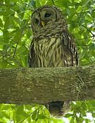 Adam Jewell - Winter Park Florida Owl