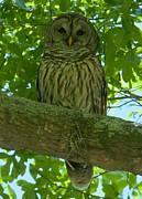 Adam Jewell - Winter Park Owl