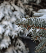 Briella Danowski - Winter Pine