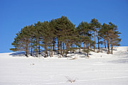 Pine Trees Art - Winter Pine Stand by John Stephens