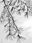 Pine Needles Photo Originals - Winter Pines by CJ Rhilinger