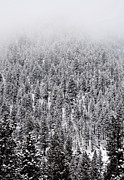 Winter Pines Print by The Forests Edge Photography - Diane Sandoval