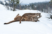 Cougar Posters - Winter Playground Poster by Sandra Bronstein