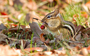 Eastern Chipmunk Photos - Winter Preparation by Mircea Costina Photography