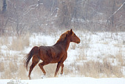 Wild Horse Metal Prints - Winter Proud Metal Print by Mike  Dawson