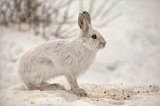 Eunice Gibb - Winter Rabbit